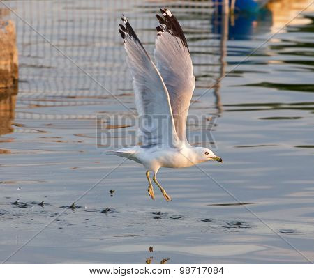 The Gull Is Taking Off From The Lake