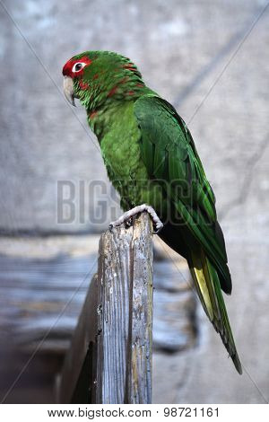 Mitred parakeet (Psittacara mitrata). Wild life animal.