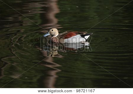 Ringed teal (Callonetta leucophrys). Wild life animal.