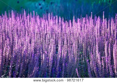 Lavender Blossoming In The Field