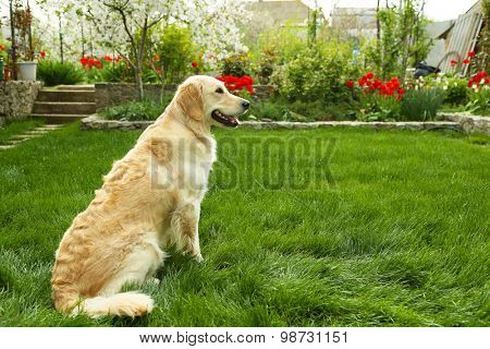 Adorable Labrador sitting on green grass, outdoors