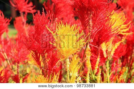 Cockscomb Flower In Garden