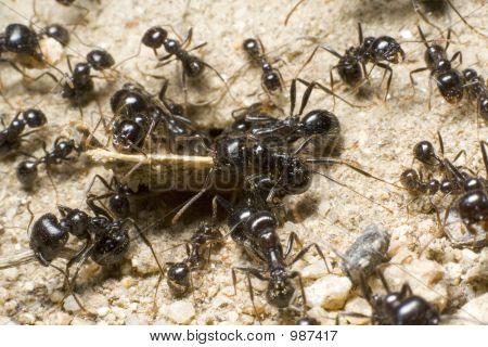 Team Of Ants