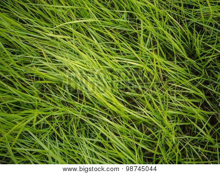 Authentic green grass background