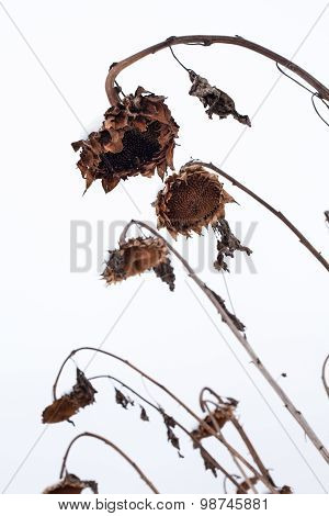 Withered Sunflowers In Winter