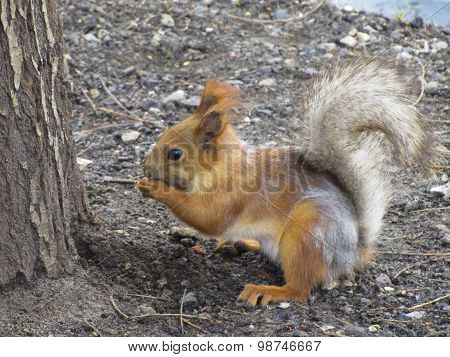 Orange Squirrel With A Fluffy Tail