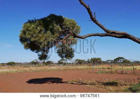 a desert oak and its shadow