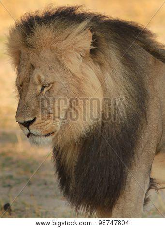 Cecil the Iconic Hwange Lion portrait