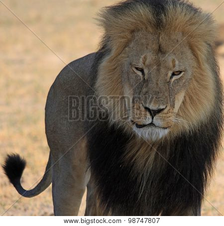 Cecil the Iconic Hwange Lion standing proudly