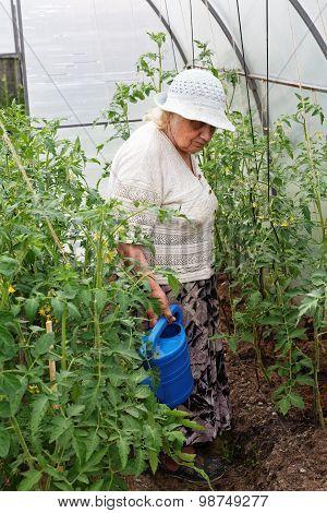 Grandma Is Watering Tomatoes