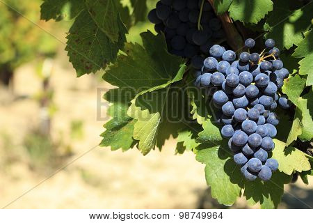 Wine Grapes In A Vineyard