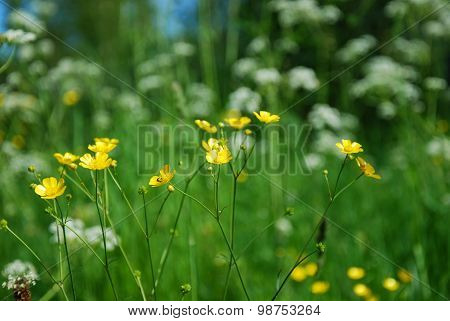 Shiny Buttercup Flowers