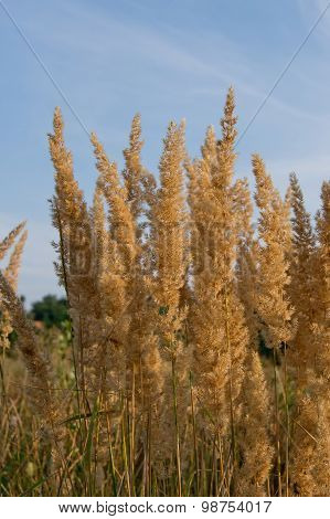 wood small-reed or bushgrass
