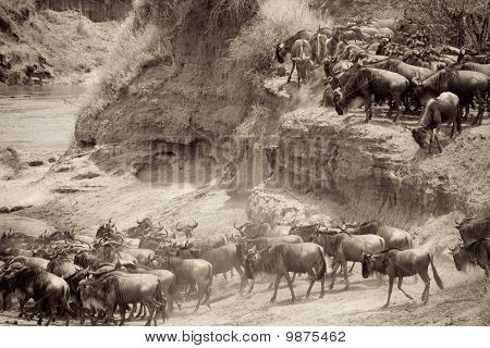 Wildebeest herd during the migration