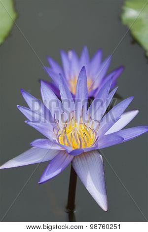 Exotic Bloom Lotus Closeup