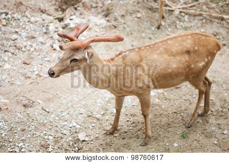 Cute Sika Deer At A Zoo