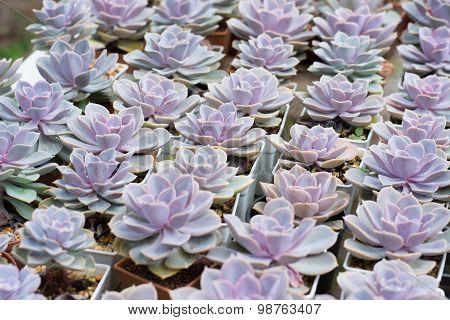 Cactus Propagation In Pots