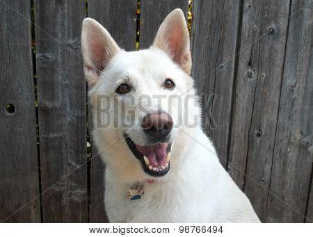 White German Shepherd in Sitting Position
