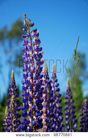 Lupines At Blue Sky