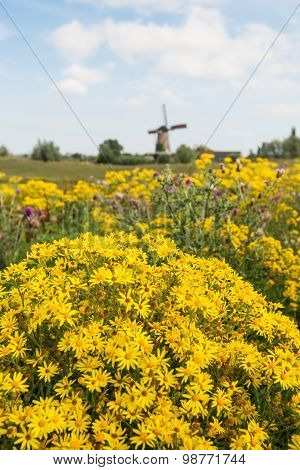 Yellow Flowering Tansy Ragwort At The Edge Of A Village