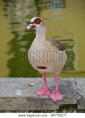 Aposing Egyptian goose