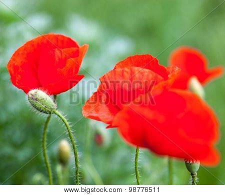 Closeup Of The Blooming Red Poppy Flowers And Poppy Buds