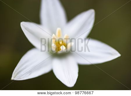 White Flower Of Ornithogalum Umbellatum
