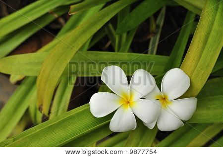 Plumeria flowers.Placed on a green background leaves many leaves.The feeling of relaxation area