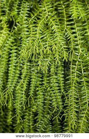 Closeup Image Of Leaf Of Tropical Fern