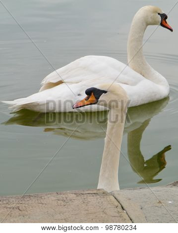 Mute swans in a pond in Italy