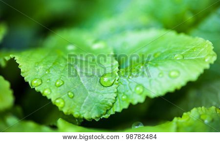 Green Leaves With Dew Drops