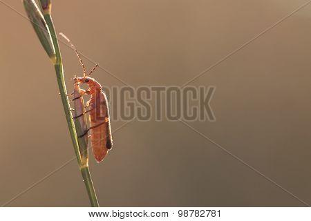 Orange Bug On The Grass Stalk