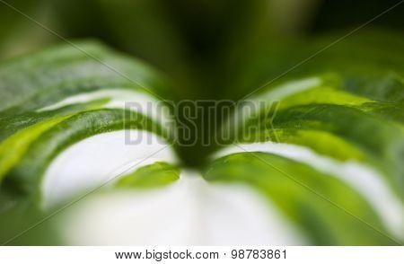 Green-white Leaf Of Hosta