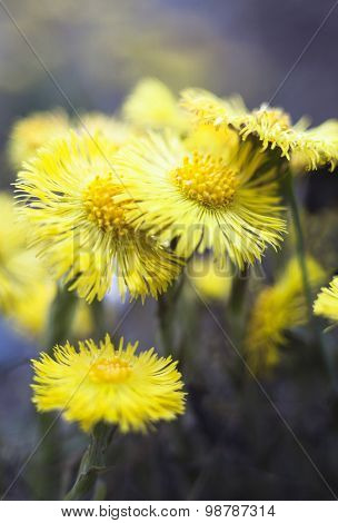 Yellow Coltsfoot Flowers (tussilago Farfara)