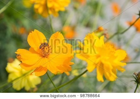yellow cosmos flowers with a bee