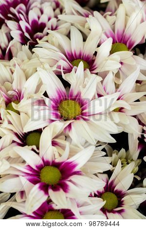 dense white purple multi-colored daisies packaging for wholesale
