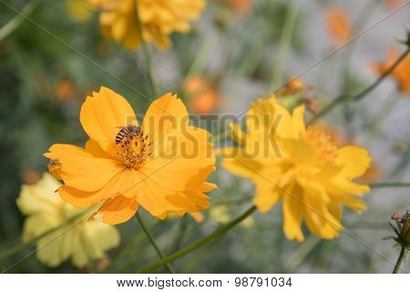 Yellow cosmos flowers with a bee.