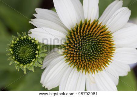 Echinacea - Pow Wow White