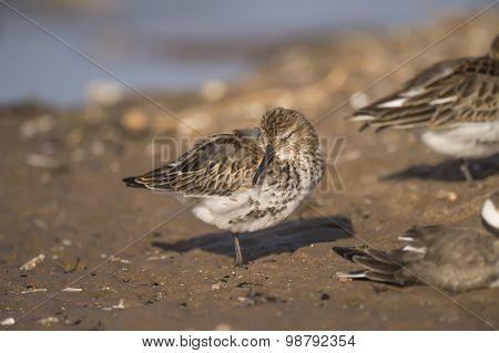 Dunlin Calidris alpina resting on the sand