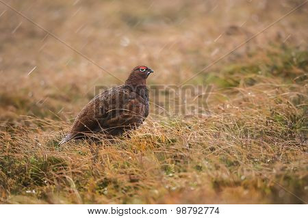 Red Grouse in the grass on Scottish moorland