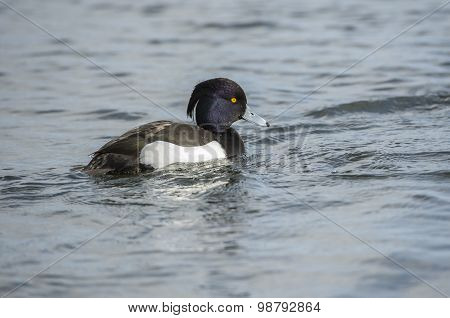 Tufted duck male floating on a pond