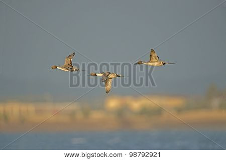 Pintail Duck Anas acuta three males in flight