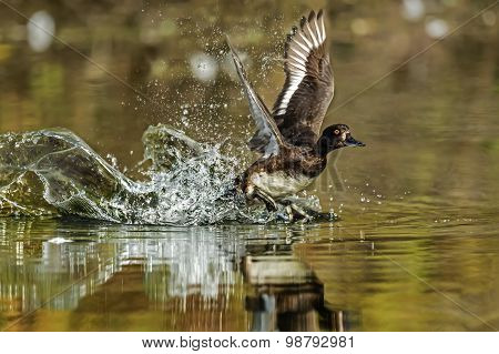 Tufted duck Aythya fuligula flying from a pond