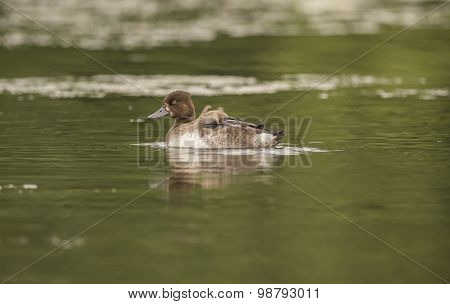 Tufted duck female resting on a pond