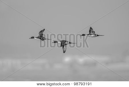 Northern pintail Anas acuta three males in flight