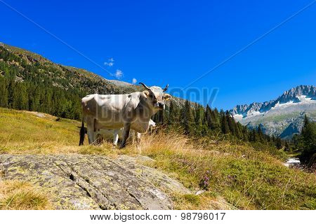 White And Brown Cow In High Mountain