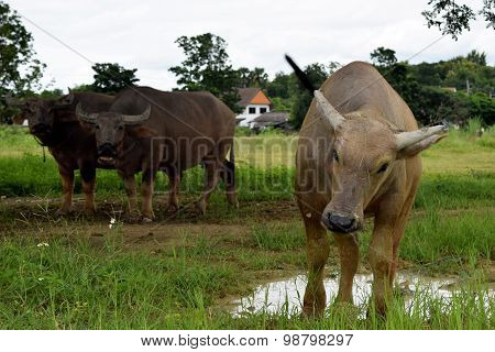 Little buffalo in trough and family