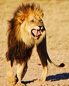 foto of flehmen response  - Large male Lion exhibiting the Flehmen response - JPG