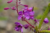 Постер, плакат: Purple Alpine Fireweed Blossoming sally bloom