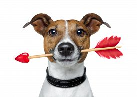 stock photo of cupid  - valentines jack russell dog in love holding a cupids arrow with mouth isolated on white background - JPG